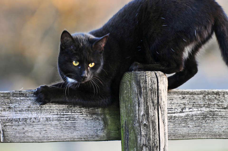 члены упругие появление черной кошки в доме приметы самые