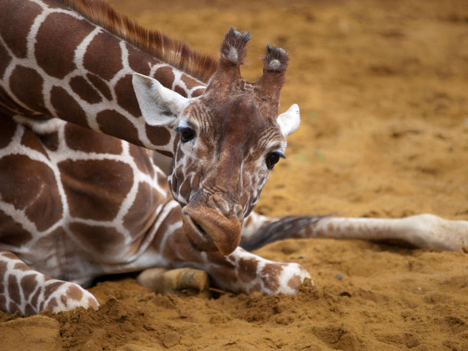 favorite animal giraffe