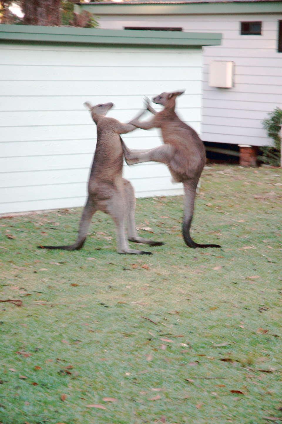 Сайт знакомства кенгуру