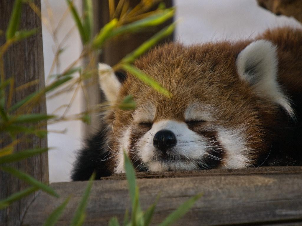 眠るレッサーパンダ